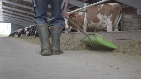 beef stock : Legs of unrecognizable man in rubber boots on the cow farm shoveling hay to cows close-up. Agriculture industry, farming and animal husbandry concept. Calves feeding process on modern farm. Stock Footage
