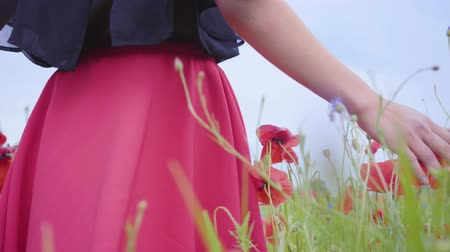vlčí máky : Female hand running through poppies field. Girls hand touching red poppy flowers closeup. Love nature concept. Connection with nature. Leisure in nature. Blossoming poppies.