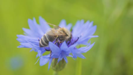 polinização : Close-up of wild bee sitting on the beautiful blue cornflower. The flower is pollinated by a bee. Nature concept.