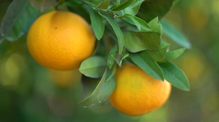 plucks : Closeup of juicy tasty oranges hanging on an orange tree. Female hand plucks oranges close-up. Stock Footage