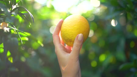 mandarinka : Close-up of female hand holding a juicy tangerine or orange on the background of sunny glare and green bloor on a sunny day. Slow motion.
