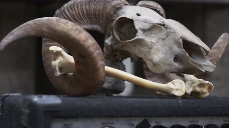 rams : The skull and bones of a ram. Attribute of success, talisman, props.