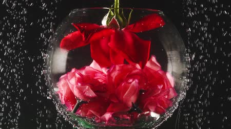 gracefully : Aquarium and red rose into the water with bubbles on black background. Fresh rose in sparkles water. Close-up.