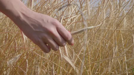 с шипами : Hand of carefree woman touching yellow ears standing on the wheat field close-up. Connection with nature, natural beauty. Harvest time
