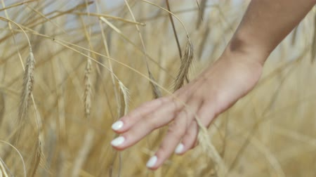 gwóżdź : Female hand touching yellow wheat ears on the wheat field close-up. Connection with nature, natural beauty. Harvest time.