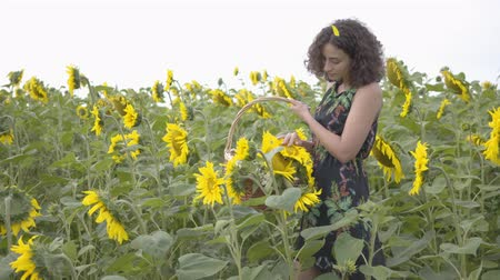 proutěný : Cute slim girl walking and picking flowers in the big wicker basket in the sunflower field. Connection with nature. Bright yellow color. Happy woman outdoors. Rural life