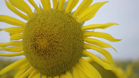 подсолнухи : Close-up of bright yellow sunflower growing on the field. Connection with nature. Rural lifestyle. Nature beauty. Agriculture concept