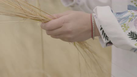 горсть : Close-up hands of a young woman in a dress with embroidered sleeves collecting ears of wheat on the field. Connection with nature, rural life concept