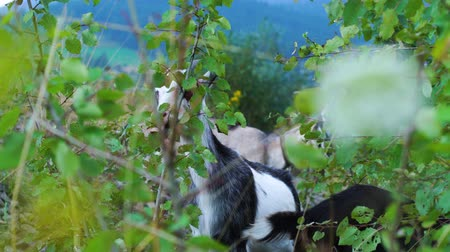 pastoral land : Cute funny goats eating grass in the green meadow. Shooting from behind bushes. Wild nature. Livestock