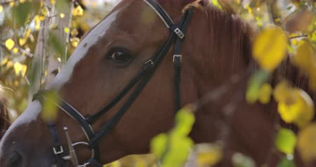 padok : Close-up face of a beautiful brown horse with white facial markings standing behind yellow leaves outdoors. Portrait of a graceful animal in the autumn forest. Cinema 4k footage ProRes HQ. Stok Video