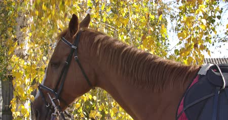 чистокровный : Graceful brown horse with white facial markings eating yellow leaves from the tree. Portrait of a beautiful animal standing in the autumn forest. Cinema 4k footage ProRes HQ. Стоковые видеозаписи