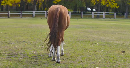 feed back : Back view of a brown horse eating grass in the corral. Graceful animal grazes on an autumn meadow. Cinema 4k footage ProRes HQ. Vidéos Libres De Droits