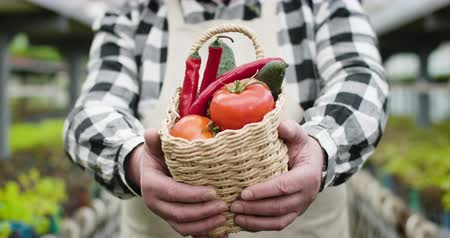 fertilizing : Close-up of mature male Caucasian hands showing basket with tomatoes, cucumbers, and hot pepper to camera. Unrecognizable agronomist boasting organic vegetables in greenhouse. Cinema 4k ProRes HQ.