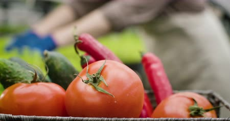 вегетарианство : Close-up of fresh organic tomatoes, cucumbers and hot peppers lying in basket as blurred hands in working gloves touching leaves at the background. Healthy eating, agriculture. Cinema 4k ProRes HQ.