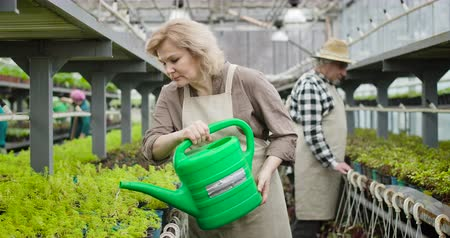 watering can : Portrait of confident mature Caucasian woman in apron pouring water on plants in pots. Senior beautiful lady working in hothouse. Agriculture, gardening, lifestyle. Cinema 4k ProRes HQ. Stock Footage