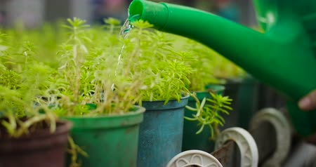 konewka : Close-up of watering can pouring water on green seedlings leaves. Unrecognizable agronomist taking care of plants in glasshouse. Cultivation, agriculture. Cinema 4k ProRes HQ. Wideo