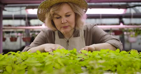 деревце : Close-up portrait of senior Caucasian woman in straw hat checking growth if plants in hothouse. Professional agronomist looking at seedlings in pots and touching green leaves. Cinema 4k proRes HQ.