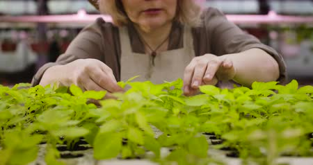 vegetarianismo : Unrecognizable Caucasian senior woman touching green leaves and talking to seedlings in pots in glasshouse. Female agronomist taking care of plants in greenhouse. Cinema 4k ProRes HQ.