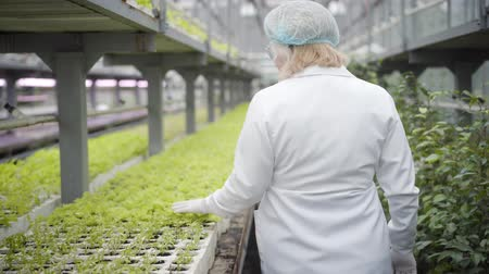 vegetarianismo : Camera following senior Caucasian woman in white robe and protective eyeglasses walking along rows of seedlings in hothouse touching leaves. Professional biologist working in glasshouse. Agriculture.