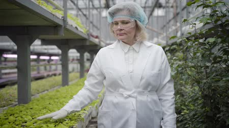 вегетарианство : Front view of senior Caucasian woman in protective workwear walking along rows of plants in glasshouse. Professional agronomist touching green leaves of seedlings. Job, agriculture, cultivation.