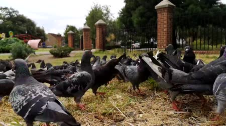 gramíneo : A Flock of Pigeons Feeding On A Grassy Area Of A Park, london