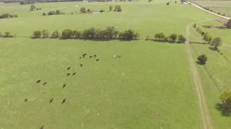 non şehir sahne : Aerial View Of Flock Of Sheep Running Across The Meadow Stok Video