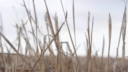 comestíveis : Close Up Of Dry Straw in a field