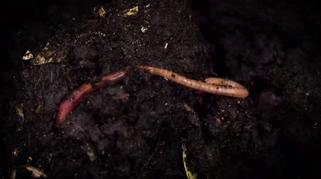 solucan : Earthworms Burrowing In A Composting Soil