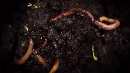 lombrico : Extreme Close Up Shot Of earthworms Gripping Into The Soil.