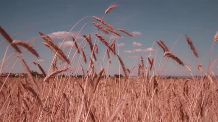 cropland : In The Field Of Growing Wheat Stock Footage