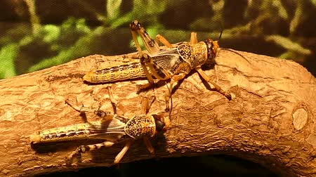 hind : Two Grasshoppers On A Branch