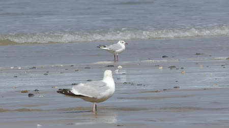 arenque : Seagulls On The Shore Of The Sea. Gull Stand On The Beach. Vídeos