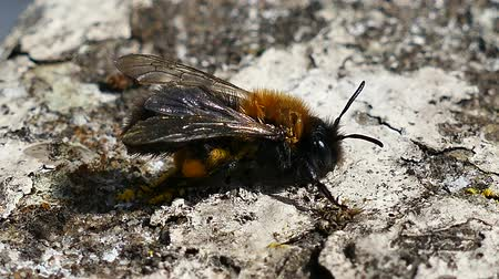 omurgasız : Solitary Bee In The Ground, Close-Up