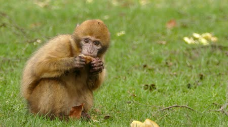 handheld shot : Monkey Eats A Crust Of Bread Stock Footage