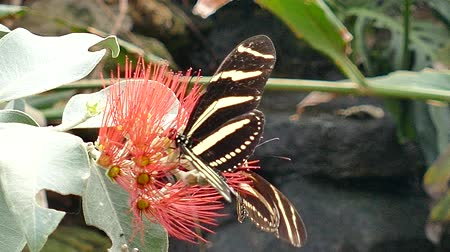 marmorizado : Butterfly Perched On A Flower Vídeos