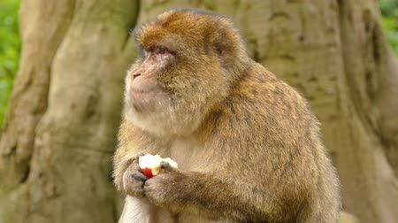 barbary : Monkey Eating Apple Fruit - Barbary Macaques Of Algeria & Morocco