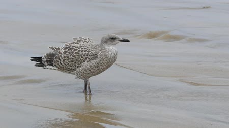 ищу : Single Seagull Bird On Seashore Looking Around, Sea Waving