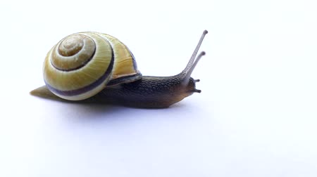 lesma : Snail Crawling In Front Of White Background Vídeos