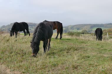 yele : Horses Eating Hay In A Meadow Stok Video