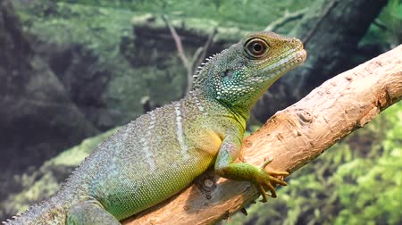 iguana : Chinese Water Dragon Stock Footage