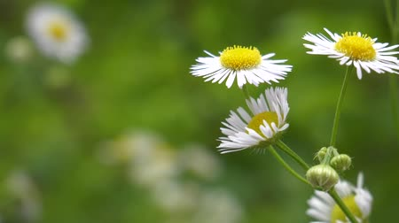 takımadalar : Chamomile Flower In Meadow Grassland