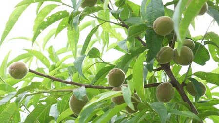 fotosíntesis : Appetizing ripe peaches growing on a tree Archivo de Video