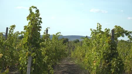 viticultura : Bunches Of Grapes On Vines In Rows. Vineyard In Countryside.