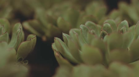 алоэ : Close-up view at succulent plant