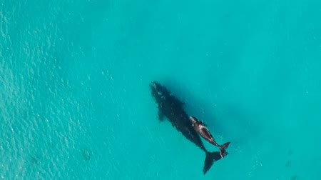 plavat : Baby humpback whales swimming beside mother at ocean surface, AERIAL