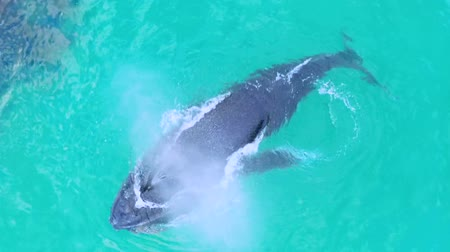 wieloryb : Whale Swimming Under The Surface Of Sea Water Wideo