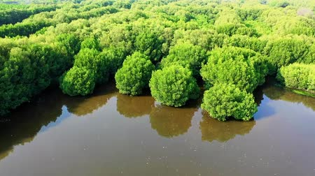 Young Mangrove Tree Forest. Aerial view. Jakarta. Indonesia