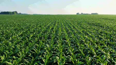 baixo ângulo : Large Corn Fields In MN, United States Stock Footage