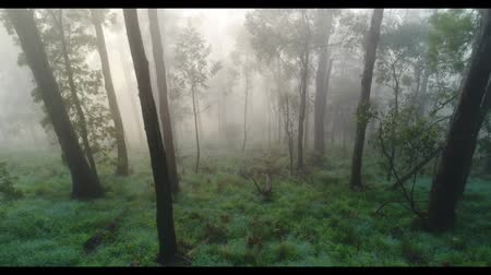 mystik : Flying Between Trees In Misty Foggy Forest