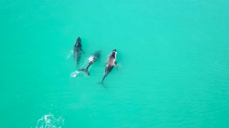 cauda : Aerial View Of Three Whales Swimming In The Ocean. Australia